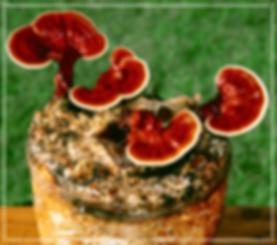Bioherby Reishi  kaufen Pilz Bio