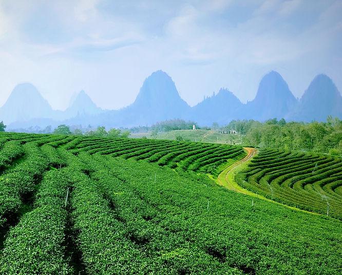 Bioherby Online Teeversand !! Die Jiaogulan-Tee Spezialist, Deutschlands Online Shop Jiaogulan, Extrakt und Tee kaufen aus Bio-Anbau Natürlicher Jiaogulan Tee aus Biologiscy . Webshop Jiaogulan online und Jiaogulan Reishi Ginseng Tee-shop Deutschland