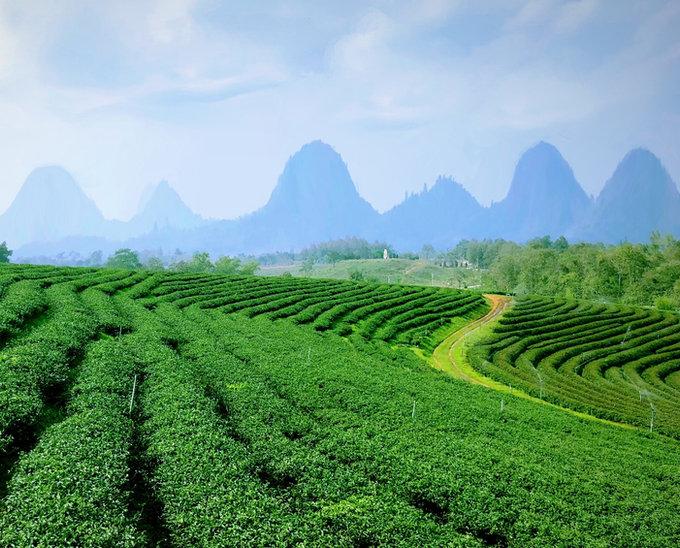 Jiaogulan Tee kaufen aus Bio- Farm in Bergtälern. Jiaogulan-tee von höchster Bio-Qualität online bestellenBioladen Bioherby. Jetzt Jiaogulan-tee auf Rechnung kaufen bei Bioherby Germany. Bioherby Gynostemma Pentaphyllum tee kaufen aus natürliche, biologischem Anbauin Onlineshop Deutschland.