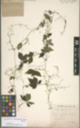 ZOOM - IN:  Gynostemma Pedata Bl.  Yunnan: Grttes de Pan Long. (or something)  Alt. 2500m.  September 1910.  