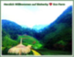 Jiaogulan Tee, Bio, Ginseng wurzel, ReishiPilz, Tee, kaufen, bestellen in online-Shop Bioherby Deutschland