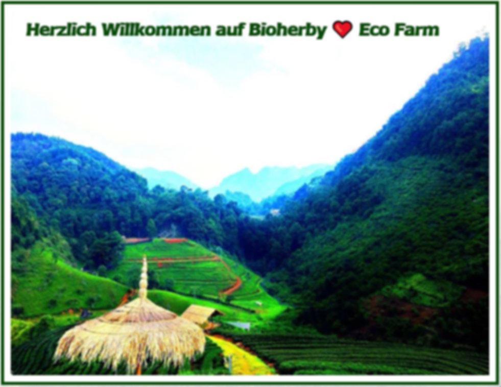 Bioherby Jiaogulan Teevon höchster Bio Reinheit. 100% Reiner Bio Jiaogulan Tee kaufen bei Bioherby in online-Shop Deutschland