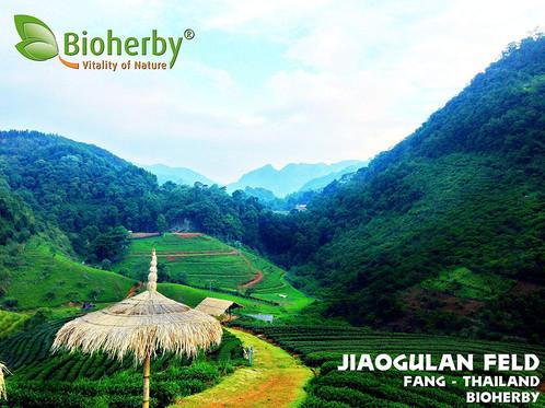 JIAOGULAN TEE BIO KAPSELN - Extrakt 20:1 - Bioherby Kaufen
