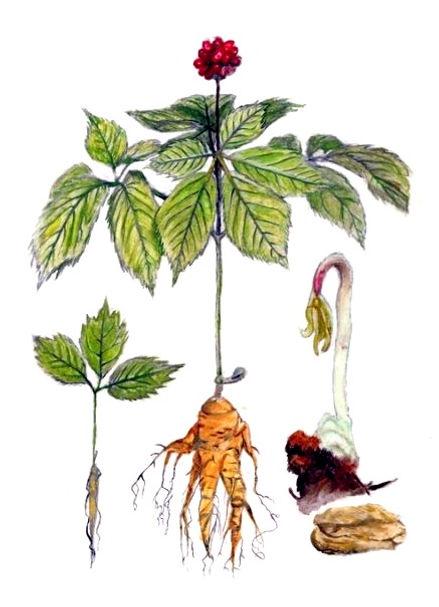 Bioherby-Ginseng-Tee-Bio