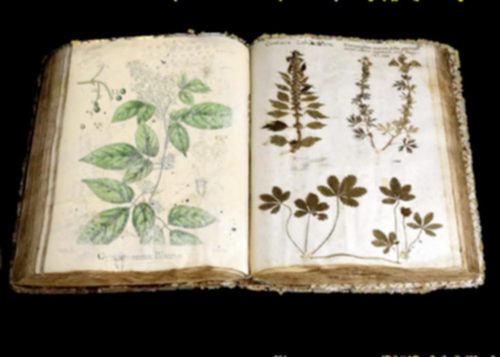 Gynostemma Blume - Berg-Jiaogulan Tee | Bioherby