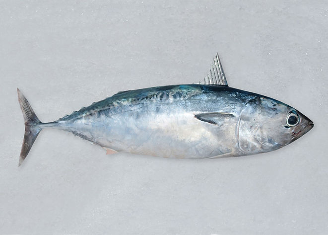 bullet-tuna.jpg