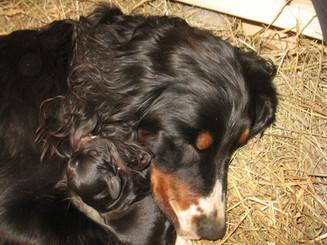 Tasha cuddling puppies
