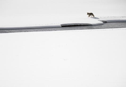 AdrienFavre_coyote-rivière_Hiver