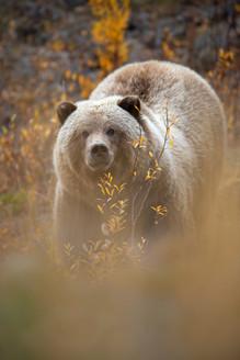 AdrienFavre_ours-alaska_Amérique-du-nord