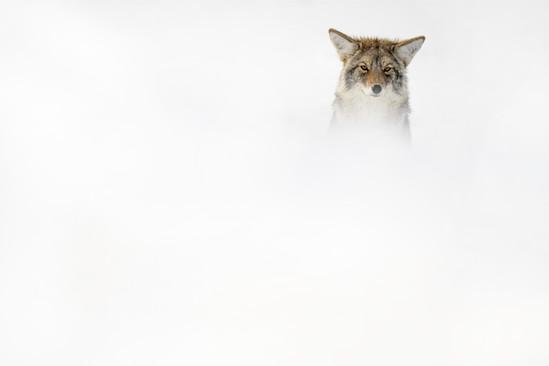 AdrienFavre_coyote_Hiver