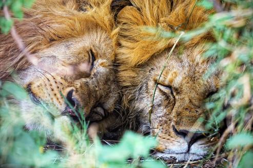 AdrienFavre_lions_Afrique
