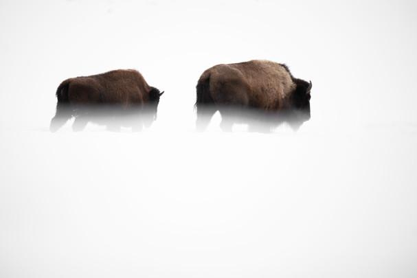 AdrienFavre_bisons_Hiver
