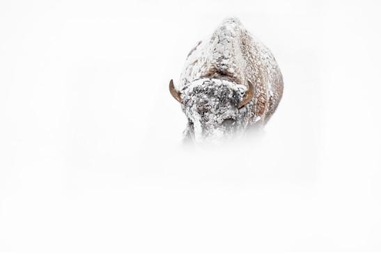 AdrienFavre_bison_Hiver