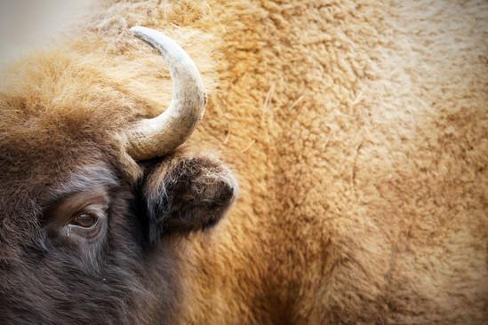 AdrienFavre_bison_Europe