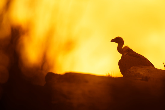 AdrienFavre_vautour_Europe