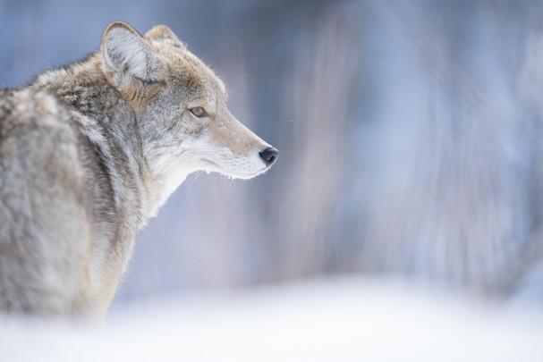 AdrienFavre_coyote-canada_Hiver