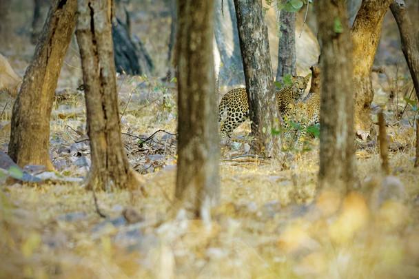 AdrienFavre_léopard-indien_Asie