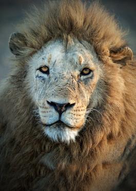 AdrienFavre_lion_Afrique