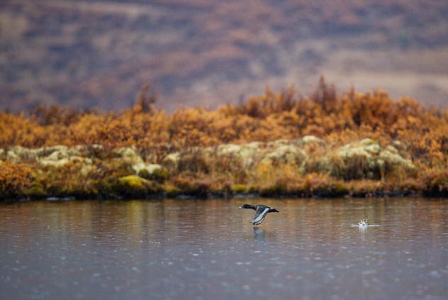 AdrienFavre_oiseau-lac_Amérique-du-nord