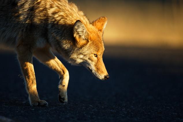 AdrienFavre_coyote_Amérique-du-nord