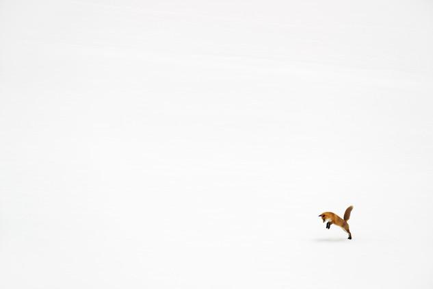 Adrien Favre photography Renard  mulotage