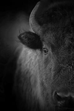 AdrienFavre_bison_Amérique-du-nord