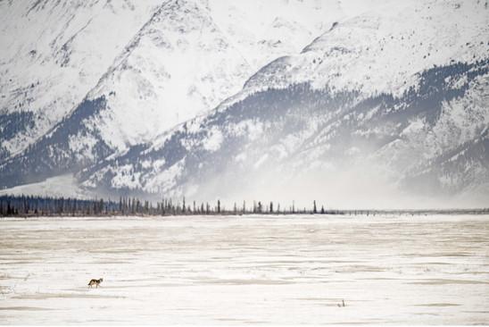 AdrienFavre_coyote-kluane-nationalpark_Hiver