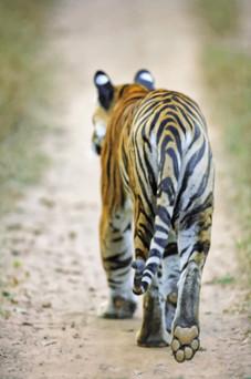 AdrienFavre_tigre_Asie