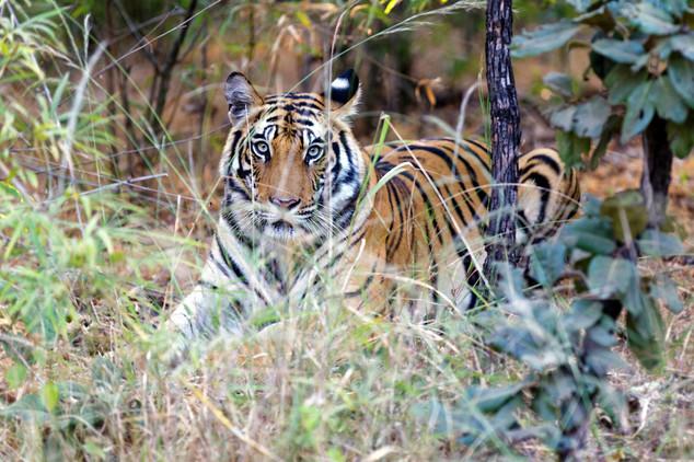 Adrien Favre photography Tigre