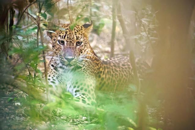 AdrienFavre_léopard_Asie