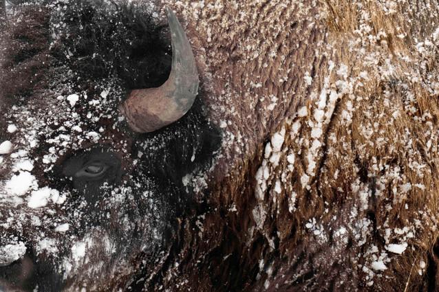 AdrienFavre_bison-yellowstone_Hiver