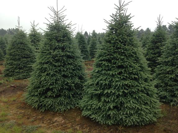 10-12ft-black-hills-spruce.jpg