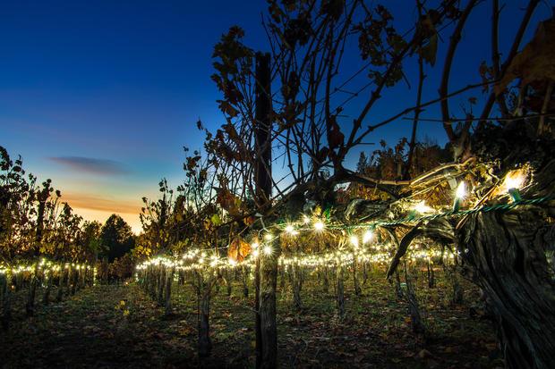 Christmas in the Vineyard