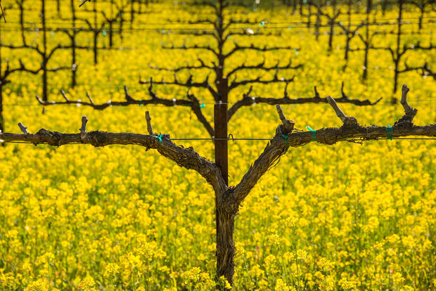 Mustard in Rutherford