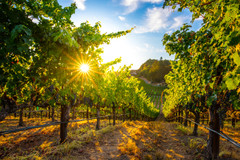 bob-mcclenahan-photography-wine-napa-sonoma-calistoga-vineyard.jpg