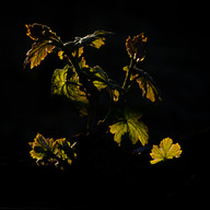 bob-mcclenahan-photography-wine-napa-sonoma-dramatic-vine.jpg