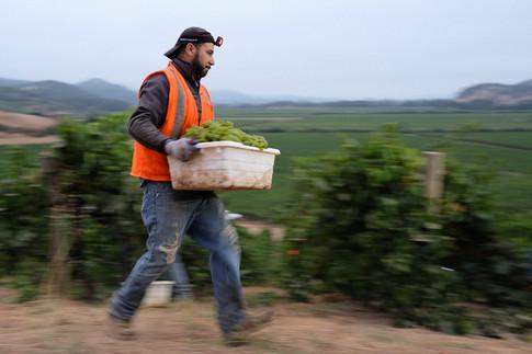 napa grape harvest