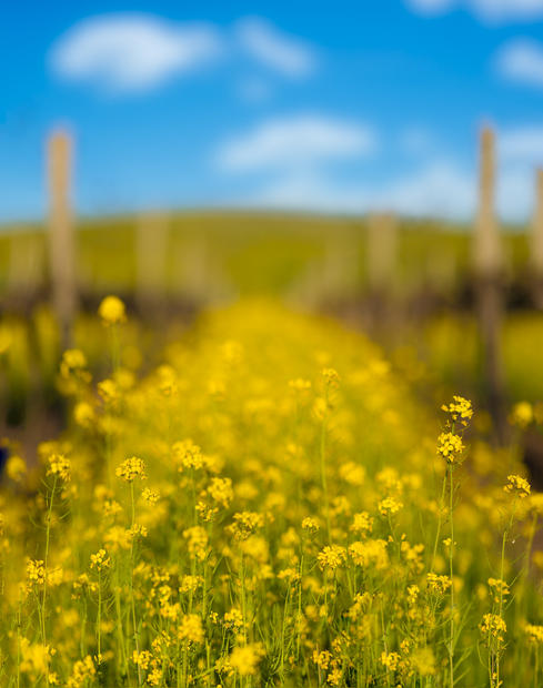 Mustard in Carneros