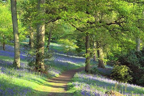 Bluebell Woodland Path Bespoke Backdrop