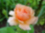 APRICOT CANDY.jpg