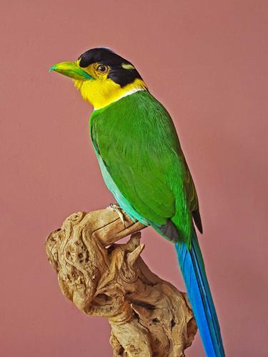 Parrot-broadbill.jpg