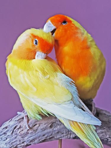 lovebirs01.jpg