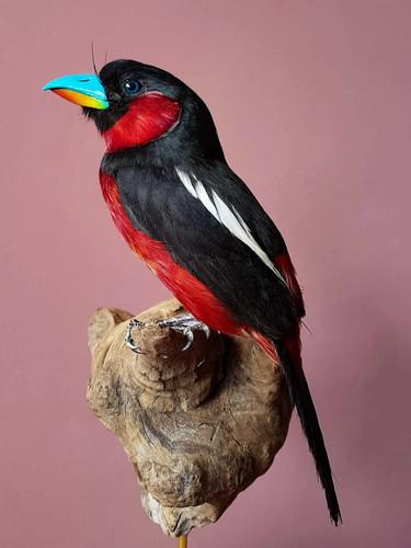 black and red broadbill.jpg