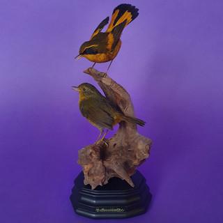 bush-robins.jpg