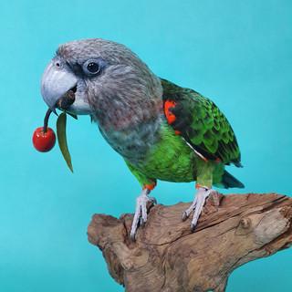 Cape-parrot.jpg