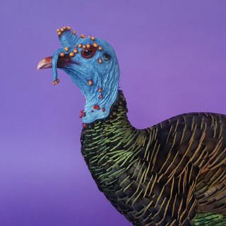 ocellated-turkey.jpg