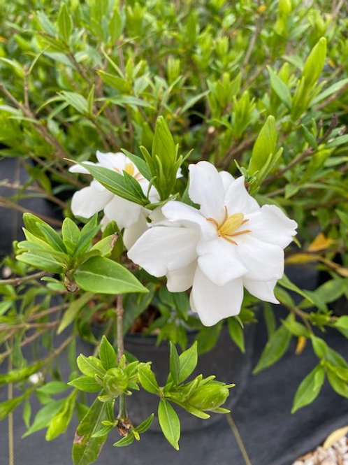Frost Proof Gardenias