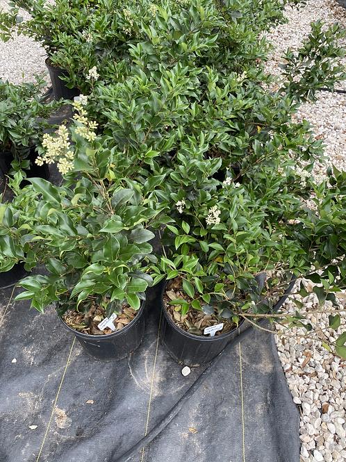 Recurve Wax Leaf Ligustrum