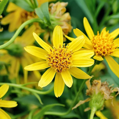 5 Ways that Arnica Montana can help your family