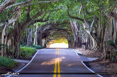 Banyan Trees Martin County